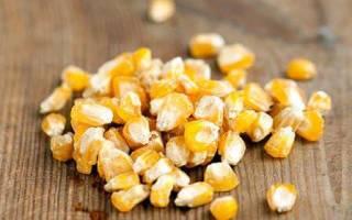 Выращивание кукурузы через рассаду