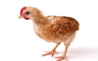 Как подсадить молодых кур к старым – курица в курятнике