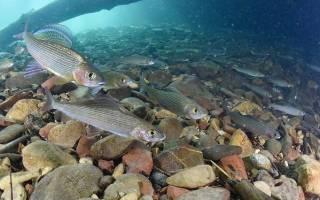 Какие рыбы обитают в озере байкал, что водится в байкале?