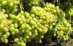 Как обрезать виноград летом от ненужных побегов?