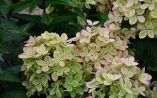 Гортензия метельчатая пастель грин фото и описание: hydrangea paniculata pastelgreen