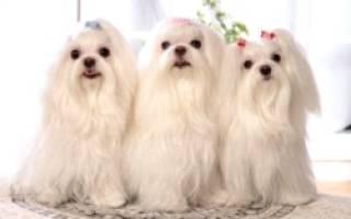 Порода собак болонка описание породы фото — мальтезе отзывы