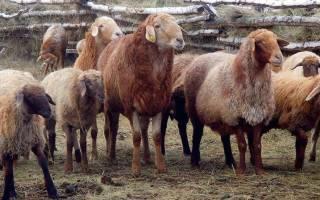 Овцы эдильбаевской породы – баран эдельбай