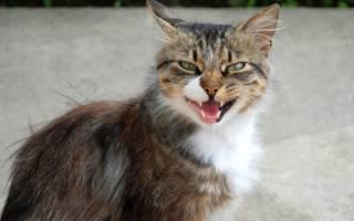 Кошка дышит как собака после игры — почему коты открывают рот?