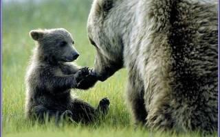 В какое время года рождаются медвежата: размеры бурого медведя