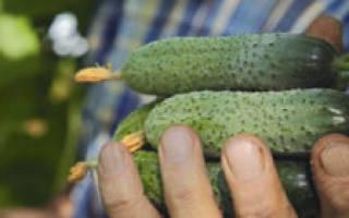 Огурцы шоша характеристика и описание сорта, огурец шуша