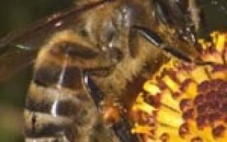 Нозематоз пчел – что это такое?