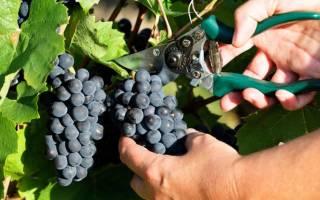 Кишмишные сорта винограда 1 го класса бессемянности, киш миш