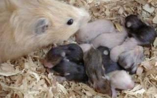 Когда рожают хомяки: как рождаются хомячки?