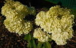 Гортензия диамантино фото и описание – hydrangea paniculata diamantino
