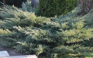 Можжевельник виргинский грей оул описание – juniperus virginiana