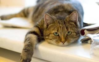 Котенок дрожит и вялый и нос сухой — у кота слабость и вялость