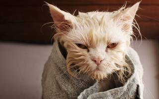 Можно ли мыть кошку детским шампунем, почему нельзя купать кошек?