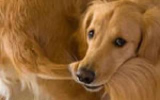 Почему собака кусает себя за хвост?