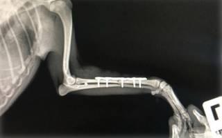 Остеосинтез бедренной кости у собаки