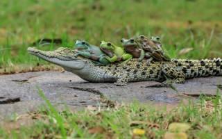 К какой группе относятся черепахи и крокодилы: ящерица ест