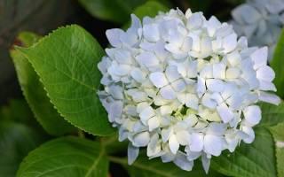 Гортензия как сделать цветную из белой, ortensia цвет