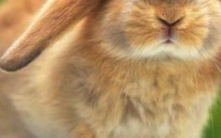 Как ухаживать за кроликами в домашних?