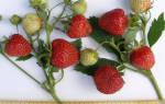 Клубника даренка описание сорта фото отзывы садоводов