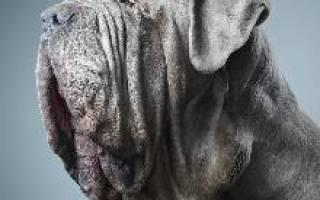 Мастиф неаполитано фото самая большая собака