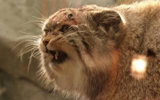 Кот загрыз грабителей от бабушки — манул и собака
