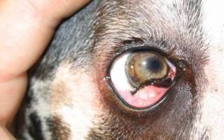 Воспаление третьего века у собак лечение Ростов — бульдога выпадение глазного яблока