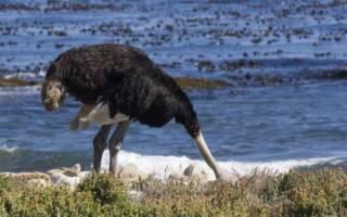 Засовывают ли страусы голову в песок?