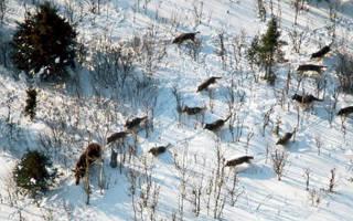 Где живут волки в России?
