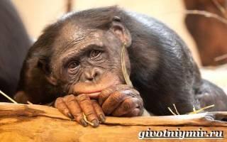 Размножение приматов в дикой природе: название человекообразных обезьян