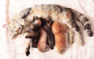 До скольки месяцев кошка кормит котят молоком