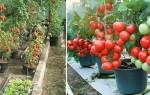 Выращивание помидоров в ведрах в теплице