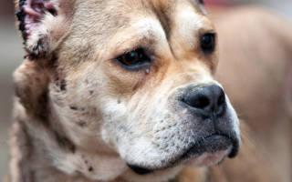 Купирование ушей у собак возраст