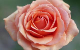 Роза ашрам фото и описание
