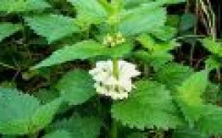 Растение похожее на крапиву с белыми цветами