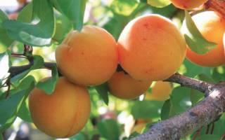 Абрикос персиковый описание сорта фото отзывы: гибриды персика