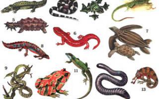 К какому классу относятся ящерицы и змеи, какое животное относится к пресмыкающимся