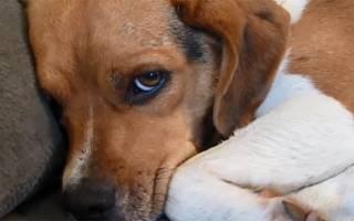 Заболевание печени у собаки симптомы и лечение