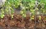 Нужно ли мульчировать помидоры в теплице?