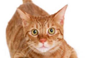 Воспаление матки у кошки в Москве — пиометрит у кошек