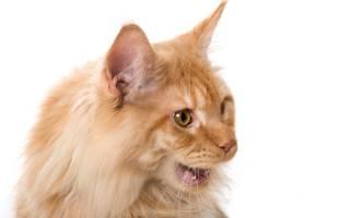 Полипы у кошек в носу симптомы: ринит у кота фото