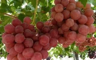 Виноград гурман описание сорта фото отзывы