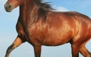 Лучшие породы лошадей для верховой езды – скаковой конь