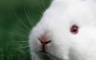 Виды декоративных кроликов с фото и названиями, заяц альбинос